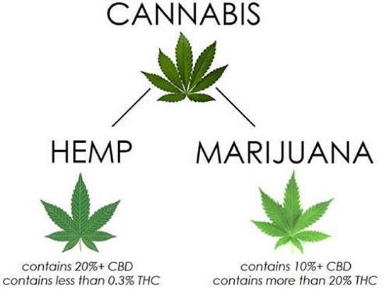 Industrial Hemp Extract Manufacturing vs Marijuana